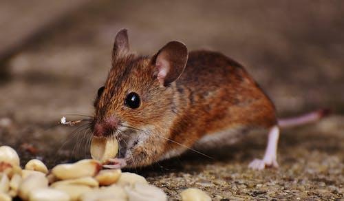rodent removal san Antonio